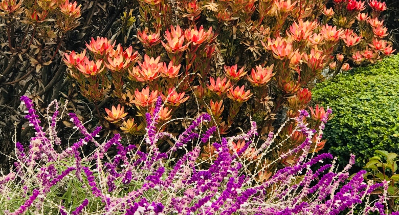 Brilliant banks of purple and orange flowers at the San Francisco end of the Golden Gate bridge, Christmas Eve Day, 2017.